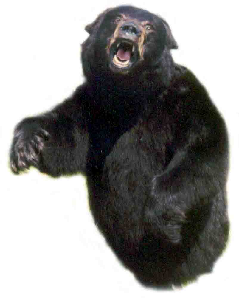 600 lb., 3/4 mount black bear